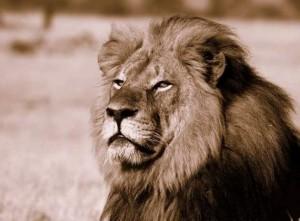 zimbabwean_cecil_lion